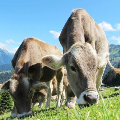 MoreLIfe Market - Animal Advocacy - Cows