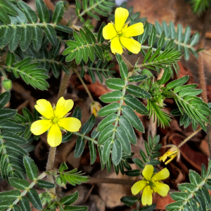 Guduchi plant stems