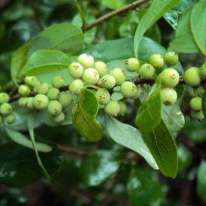 Guggulu berries on tree